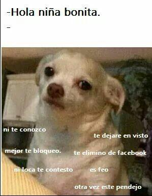 meme de chihuahuas 11