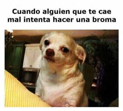 meme de chihuahuas 5