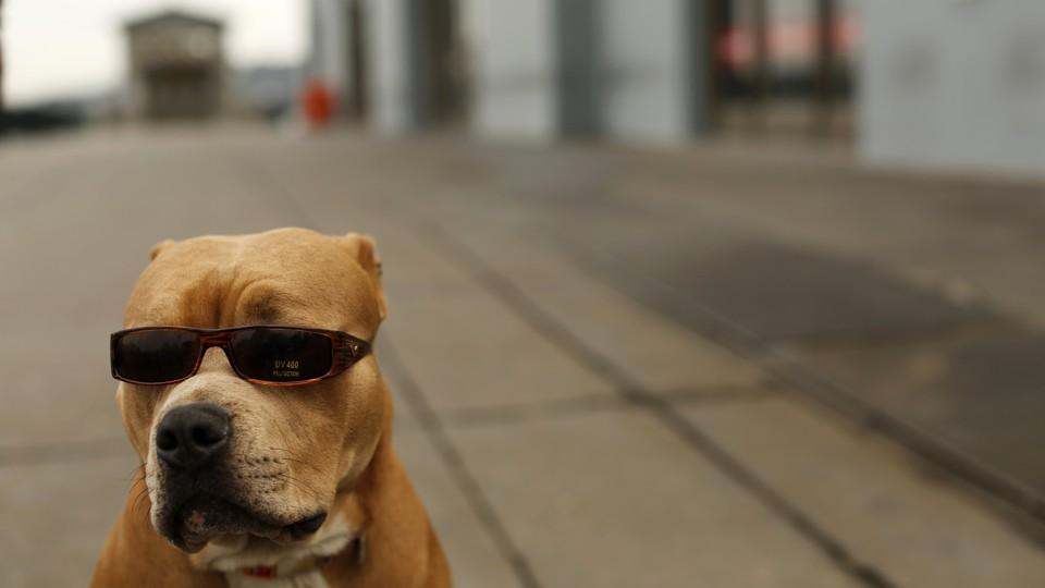 Pitbull con gafas de sol