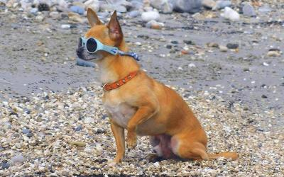 15 imagenes que nos muestran el lado cool de un chihuahua