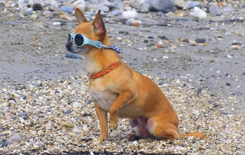 llevar a tu chihuahua a la Playa con gafas de sol