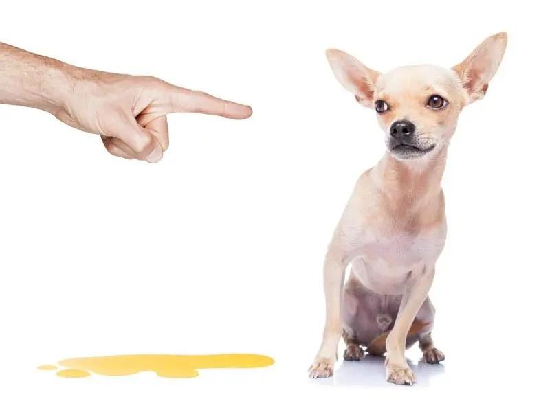 Como entrenar a tu chihuahua para hacer sus necesidades