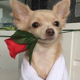 chihuahua con flor
