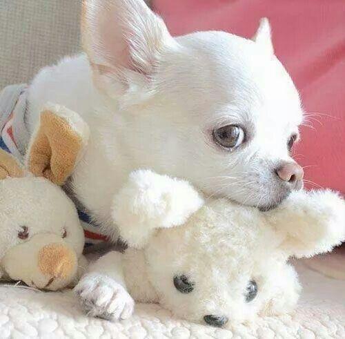 chihuahua y sus juguetes