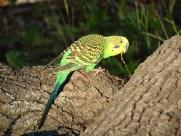 parakeet visitor