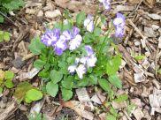 rebecca violets