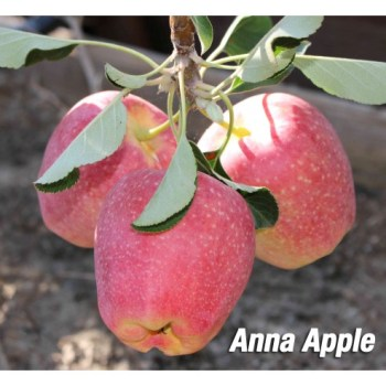 anna apple tree fruit