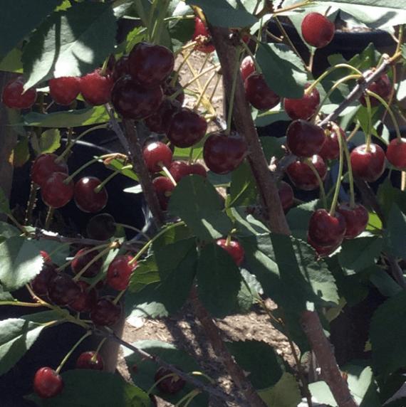 sour cherry tree albaloo