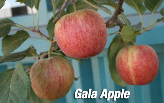 gala apple tree fruit