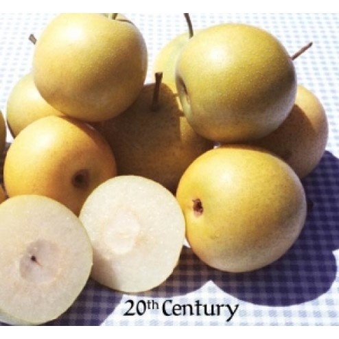 20th Century Asian Pear