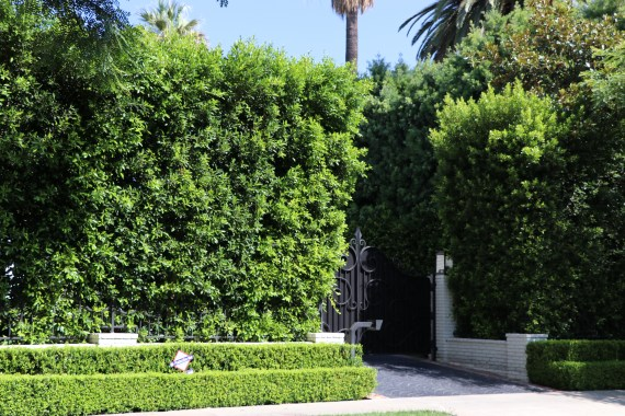 Ficus hedge for privacy