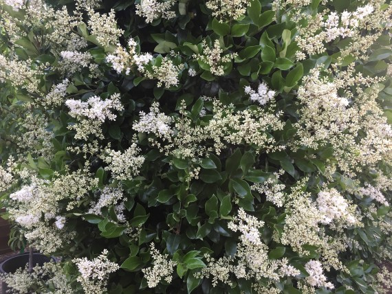 ligustrum japonicum texanum flower close up