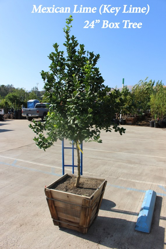 Mexican key lime tree