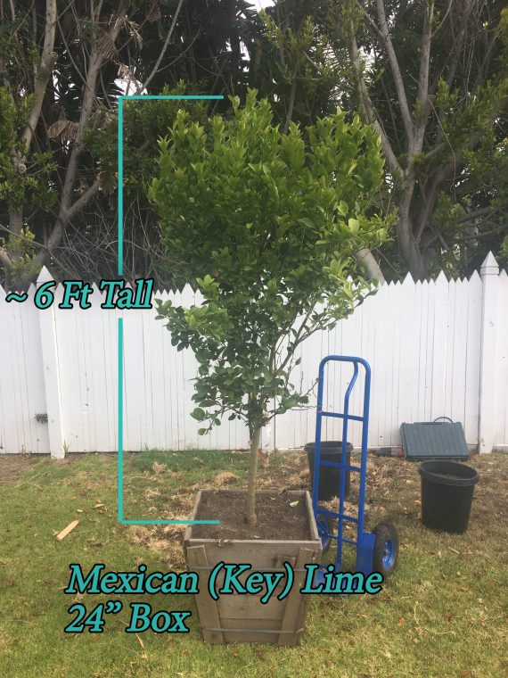 Mexican Lime Tree
