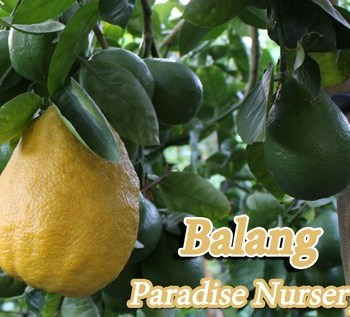 Specialty Citrus Trees