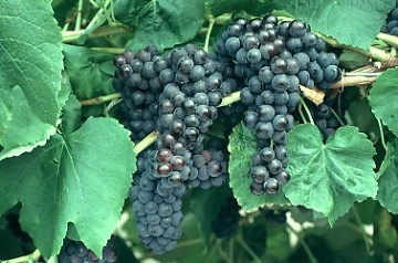Black Monukka Grape