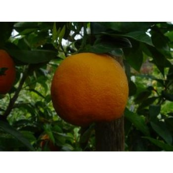 Naranj - Sour Orange Trees نارنج