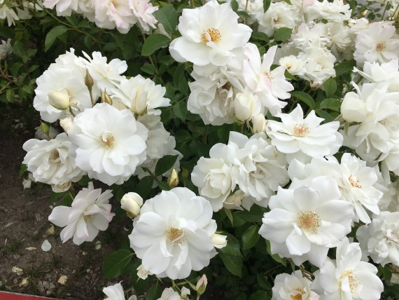 Close up flowers of iceberg rose