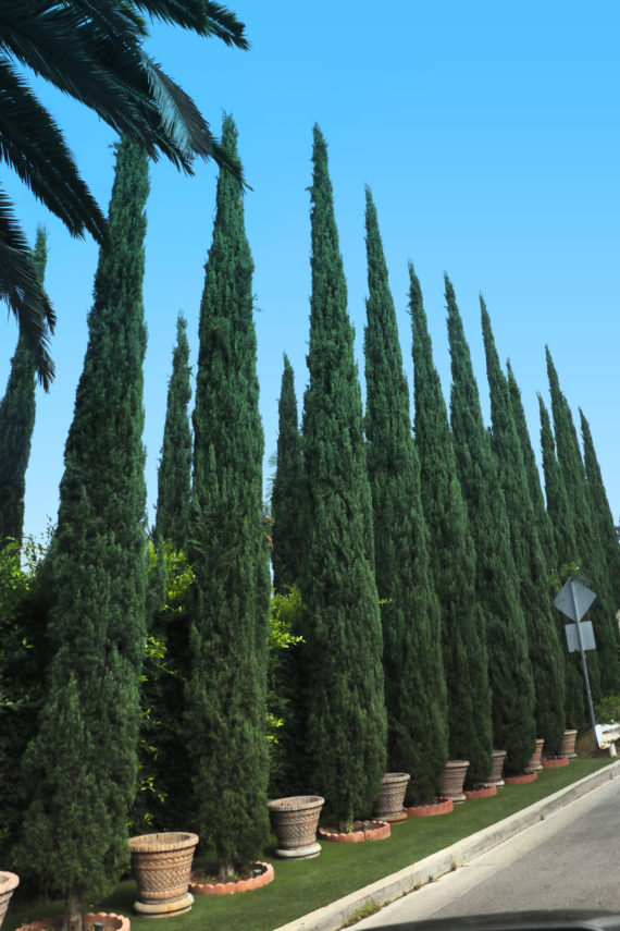 Italian Cypress Trees For Sale At Paradise Nursery