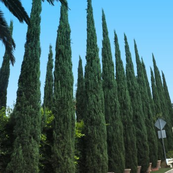 Italian cypress hedge near street