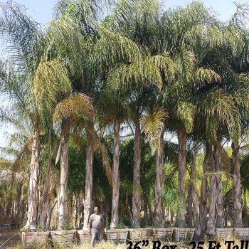 Queen Palm Tree 36' Box