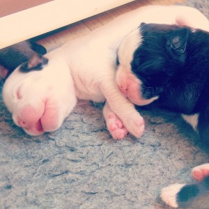Females: white 1 & brindle 1