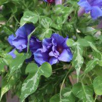 変化朝顔 正木系統 青水晶斑入孔雀葉石化紫切咲