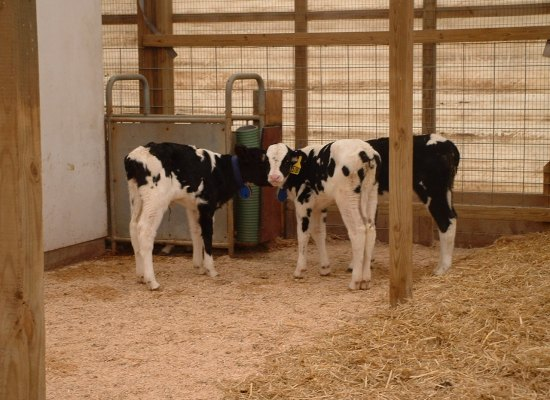 calves in barn