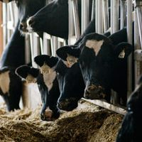 dairy cows eating feed in freestall barn