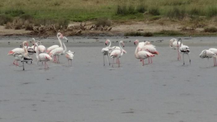 flamingi natura