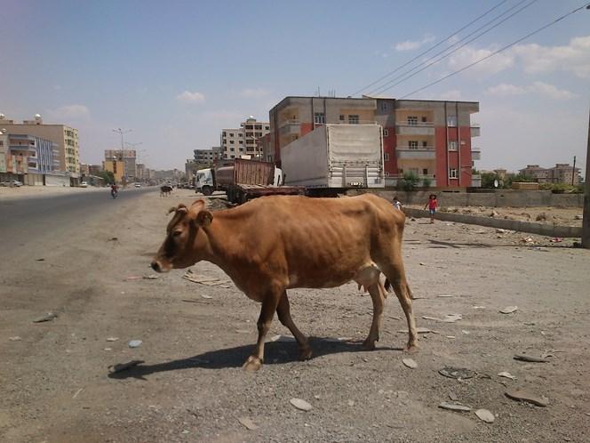 krowa w silopi