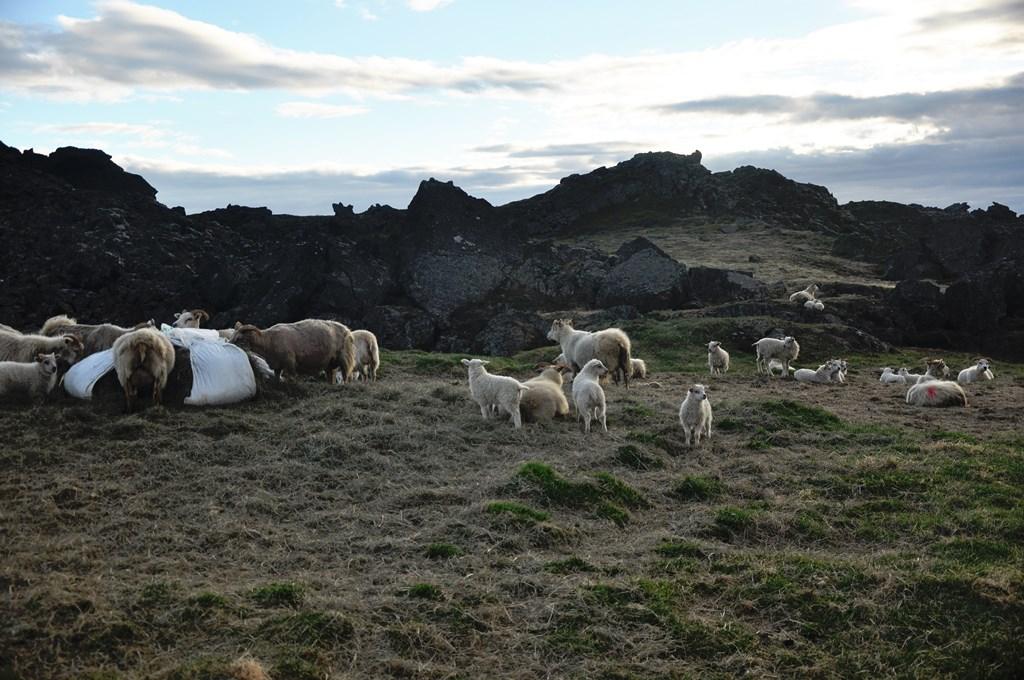 19:00. Po wyjściu idziemy w stronę najbliższej miejscowości. Trasa prowadzi przez farmę więc natykamy się na wesołe stadko owieczek. Jest luzik. Nie mamy gdzie spać? Powolutku...