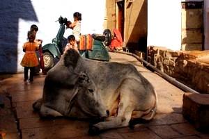 swieta krowa jodhpur