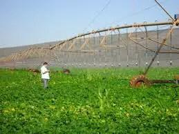 Plantação de Tomates.1jpg