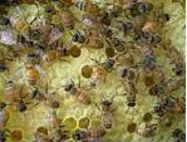 abelhas nos favos