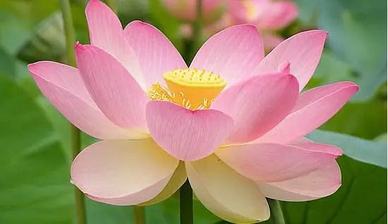 lotus-e-a-dengue