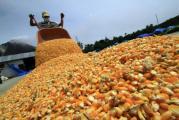 ASERCA abre ventanillas para agricultores de maíz amarillo
