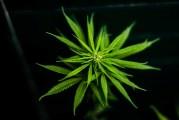 Tailandia dice sí a la mariguana medicinal
