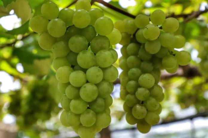 Destaque na produção de uva, Bituruna busca selo de procedência