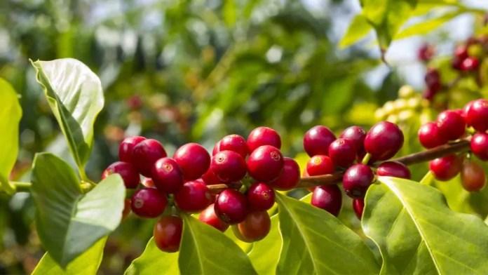 Café: Uniformidade do grão influencia na rentabilidade e qualidade da bebida