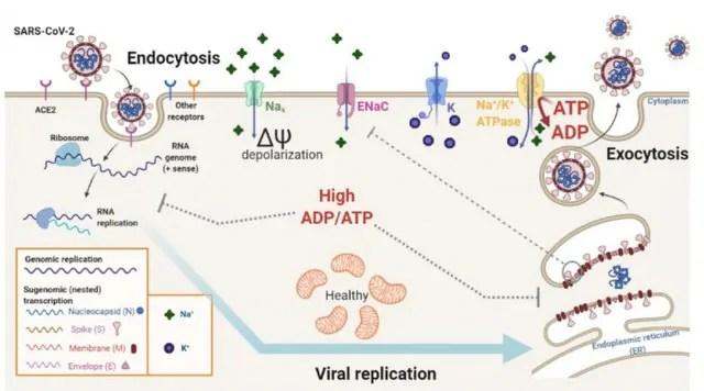 Estudo da USP revela como a solução salina pode inibir a replicação do SARS-CoV-2