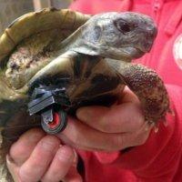 Prótese de Lego permite a tartaruga voltar a andar