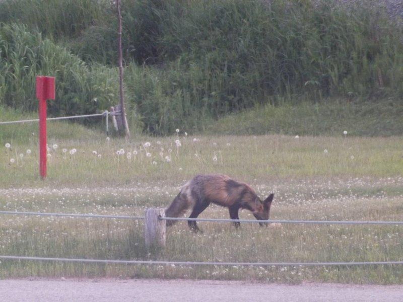 Chupacabra ou renard croisé 3