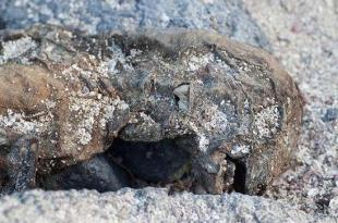 Un carcasse gelée d'un Bigfoot au Canada
