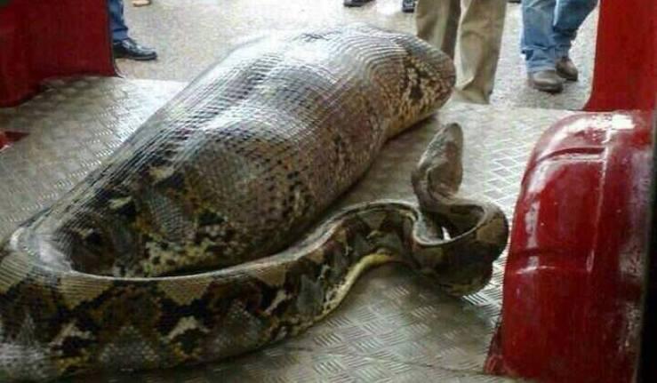 Un homme avalé en entier par un python