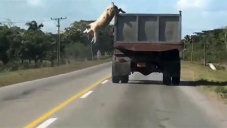 Le cochon qui refuse de devenir du bacon!