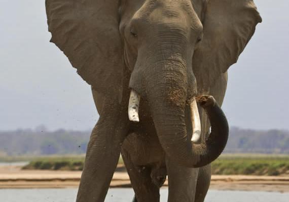 Un chasseur piétiné à mort par l'éléphant qu'il tentait de tuer pour son ivoire