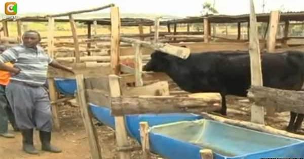 Kenya : Une vache s'est mise à dévorer des moutons