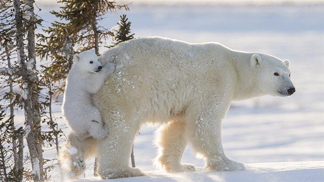 Un ourson polaire s'accroche à sa mère pour se promener « avec style »