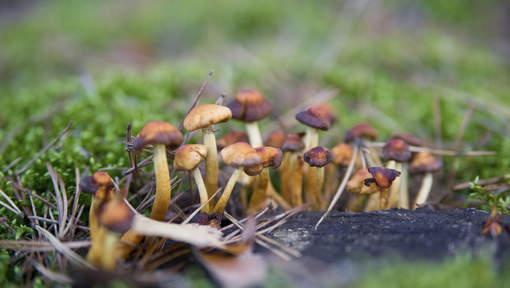 Les champignons hallucinogènes sont bons pour lutter contre la dépression